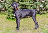 foto of great dane  - The Great Dane is on the grass. ** Note: Soft Focus at 100%, best at smaller sizes - JPG