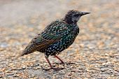 Fledgling European Starling (sturnus Vulgaris)