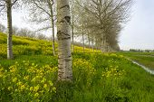 picture of birching  - Yellow wildflowers in spring and birches under a cloudy sky