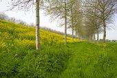stock photo of birching  - Yellow wildflowers in spring and birches under a cloudy sky