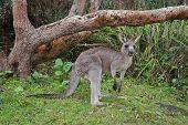 foto of kangaroo  - A native kangaroo in the Australian bushland  - JPG