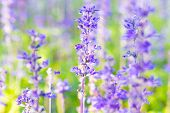 stock photo of salvia  - Blue Salvia farinacea flowers blooming in the garden - JPG