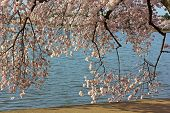 stock photo of abundance  - Flowers abundance during a cherry blossom festival in Washington DC USA - JPG