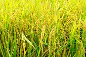 stock photo of rice  - rice fields or rice paddies stalks of rice - JPG