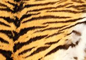 picture of tigress  - detailed texture of real tiger fur natural pelt background - JPG