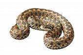pic of hungarian  - hungarian meadow viper  - JPG