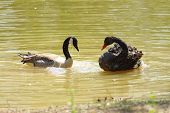 foto of water bird  - two birds on water  - JPG