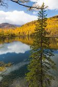 image of blue spruce  - Autumn spruce over the lake on a background of yellow forest and blue sky - JPG