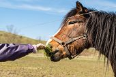 image of child feeding  - Hand of child feeding brown horse standing in an enclosure on a sunny day - JPG