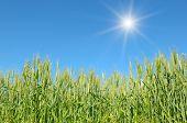 foto of fall-wheat  - sun in sky over wheat field - JPG