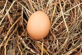 picture of nest-egg  - photo of brown eggs at hay nest in chicken farm - JPG