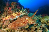 pic of cuttlefish  - Pair Pharaoh Cuttlefish mating on coral reef - JPG
