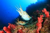stock photo of cuttlefish  - Pair Pharaoh Cuttlefish on coral reef - JPG