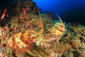 stock photo of cuttlefish  - Pair Pharaoh Cuttlefish mating on coral reef - JPG