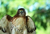 picture of hawks  - Red - JPG