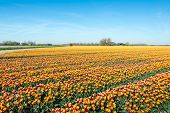 foto of early morning  - Red yellow and white colored tulips on the large field of a Dutch nursery on an early sunny morning in the spring season - JPG