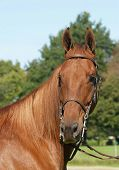 American Saddlebred Portrait