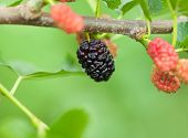 stock photo of mulberry  - Macro of mulberry fruits  - JPG