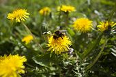 picture of bumble bee  - Close up of a bumble bee on a dandelion flower - JPG