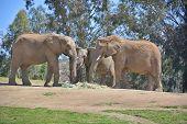 stock photo of mammal  - Elephants are large mammals of the family Elephantidae and the order Proboscidea - JPG
