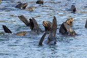 foto of sea lion  - Sea lions in the water of Yaquina bay in Newport Oregon - JPG