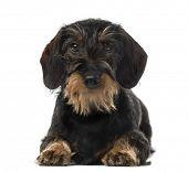 stock photo of dachshund  - Dachshund  - JPG