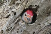 foto of pecker  - A portrait of a woodpecker peaking out of the tree hole - JPG