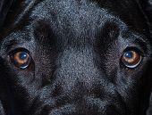 Great Dane Eyes