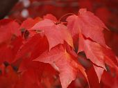 Red_Maple_Leafs