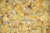 Crowded Farm Chicks