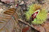 Sweet Chestnuts (castanea Sativa) Fallen Onto The Forest Floor