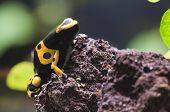Black and yellow tropical poisonous frog