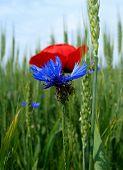 Blue&Poppy