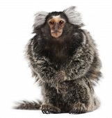 image of marmosets  - Common Marmoset Callithrix jacchus 2 years old sitting in front of white background - JPG