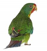Swift Parrot, Lathamus Discolor, 2 Years Old, Standing In Front Of White Background