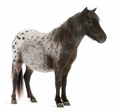 Appaloosa Miniature Horse, Equus Caballus, 2 Years Old, Standing In Front Of White Background