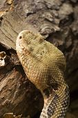 pic of timber rattlesnake  - timber rattlesnake crotalus horridus native the the eastern us - JPG