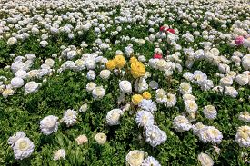 stock photo of buttercup  -  Field of white garden buttercups ready to harvest - JPG