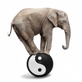 image of yang  - Big Elephant balancing on a sphere with Ying yang symbol of harmony and balance - JPG