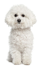 picture of bichon frise dog  - Bichon frise 5 years old sitting in front of white background - JPG