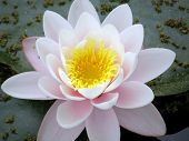 picture of water lily  - Beautiful water lily - JPG
