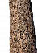 Trunk Of Ponderosa Pine, Isolated
