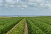 Green Wheat Field And Dirt Country Road On A Bright Sunny Day. Countryside Landscape, Agricultural F poster