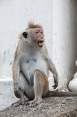 foto of tarzan  - Portrait of wild smart monkey with smart and very loud look - JPG
