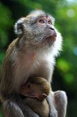 Macaque looking up