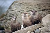 Three wise otters