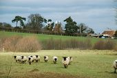 Black Headed Sheep And Oast Houses  In Rural England