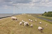 Grazing Sheep With Some Big Windmills In The Sea Behind Them