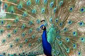 picture of peahen  - closeup of a peacock dance attracting peahen - JPG