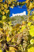 Постер, плакат: Руины Devicky замка с виноградником Чешская Республика